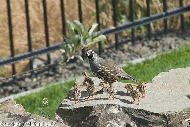 Part of a California Quail family visiting the yard.