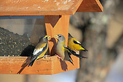 Evening grosbeak male and female at feeding station in winter.