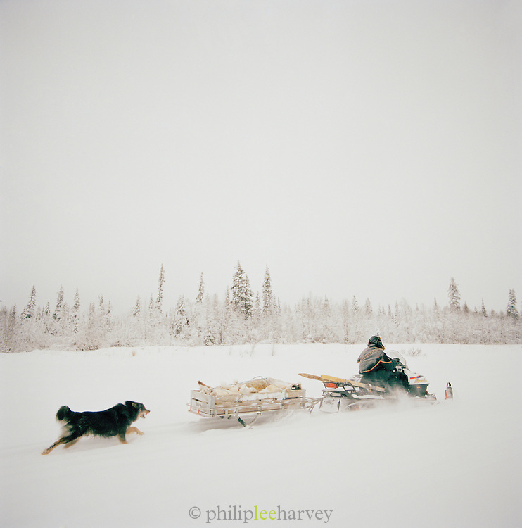 Sami reindeers herder on snowmobile, chased by dog in Lapland, Sweden