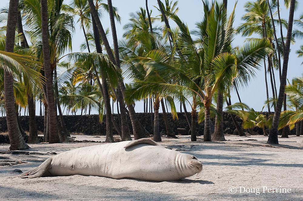 Hawaiian monk seal, Monachus schauinslandi( Critically Endangered ), 2.5 year old male relaxes on the beach under the palm trees, Pu'uhonua o Honaunau ( City of Refuge ) National Historical Park, Kona, Hawaii ( the Big Island )