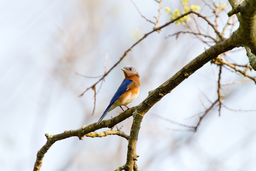 The Eastern Bluebird is a small thrush with a big, rounded head, large eye, plump body, and alert posture. The wings are long, but the tail and legs are fairly short. The bill is short and straight.  Male Eastern Bluebirds are vivid, deep blue above and rusty or brick-red on the throat and breast. Females are grayish above with bluish wings and tail, and a subdued orange-brown breast.