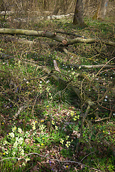 Oxlips, celandine and wood anemones growing in a coppiced area of Hayley Wood, Cambridgeshire. Primula elatior