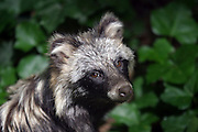 raccoon dog (Nyctereutes procyonoides) close up. Native to East Asia but potentially hazardous invasive species in central and western Europe