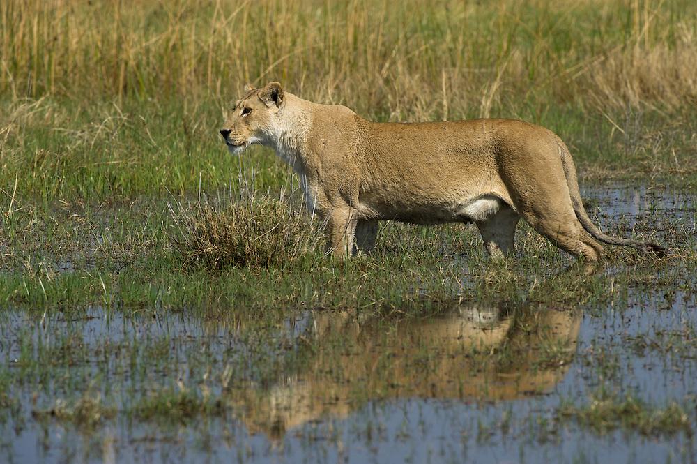 Lioness (Panthera leo) crossing water<br /> Moremi Game Reserve, Okavango Delta<br /> BOTSWANA<br /> RANGE: Sub-Saharan Africa