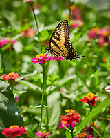 Tiger Swallowtail butterfly feeding on Zinnia flower. Image taken with a Nikon D850 camera and 100-500 mm f/5.6 VR lens