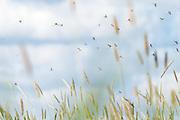 Mayfly (Ephemera sp.) courtship dance. Surrey, UK.
