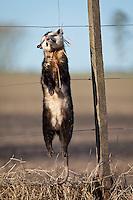 COMADREJA OVERA (Didelphis albiventris) MUERTA AHORCADA EN UN ALAMBRADO DE UN CAMPO, RICARDONE, PROVINCIA DE SANTA FE, ARGENTINA (PHOTO © MARCO GUOLI - ALL RIGHTS RESERVED)