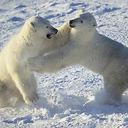 Polar Bear (Ursus Maritimus) pair wrestling. Hudson Bay, Canada