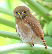 A ferruginous pygmy owl (Glaucidium brasilianum) appears to scowl at the camera Yasuni National Park, Amazon, Ecuador.