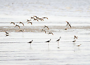 As I was photographing the Black-necked Stilt, this flock of Dowitchers flew beautifully into the picture.  Spring Migration Pickering Beach Delaware