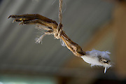 dried up chicken leg hanging on a little rope