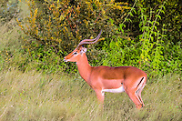 Impala at sunrise in Kruger National Park, the largest game reserve in South Africa.