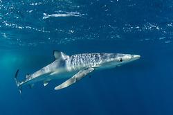 Blue Shark, Prianace glauca, Long Beach, California, Pacific Ocean