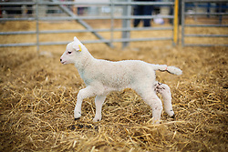 © Licensed to London News Pictures. 19/03/2017. York, UK.  An energetic newly born lamb plays at Askham Bryan College near York during their annual lambing Sunday event. Spring is definitely on the way as Lambs appear and the UK seeing temperatures as high at 18 degrees this week. Photo credit : Ian Hinchliffe/LNP