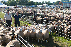 © Licensed to London News Pictures. 13/09/2019. Llanelwedd, Powys, UK. The auction of Welsh mule sheep gets under way at Llanelwedd in Powys, Wales, UK. Mules are loaded up on trucks after being sold.The commercial breeding Welsh mule ewe is a cross between a Blue-faced Leicester ram and either a Beulah speckled faced  ewe or a Welsh mountain ewe. Photo credit: Graham M. Lawrence/LNP