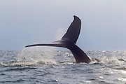 A humpback whale (Megaptera novaeangliae) dives in the Pacific Ocean off the coast of Puerto Vallarta, Mexico. A large group of humpback whales winters in Mexico. The whales are known to migrate up to 16,000 miles (25,000 km) per year.