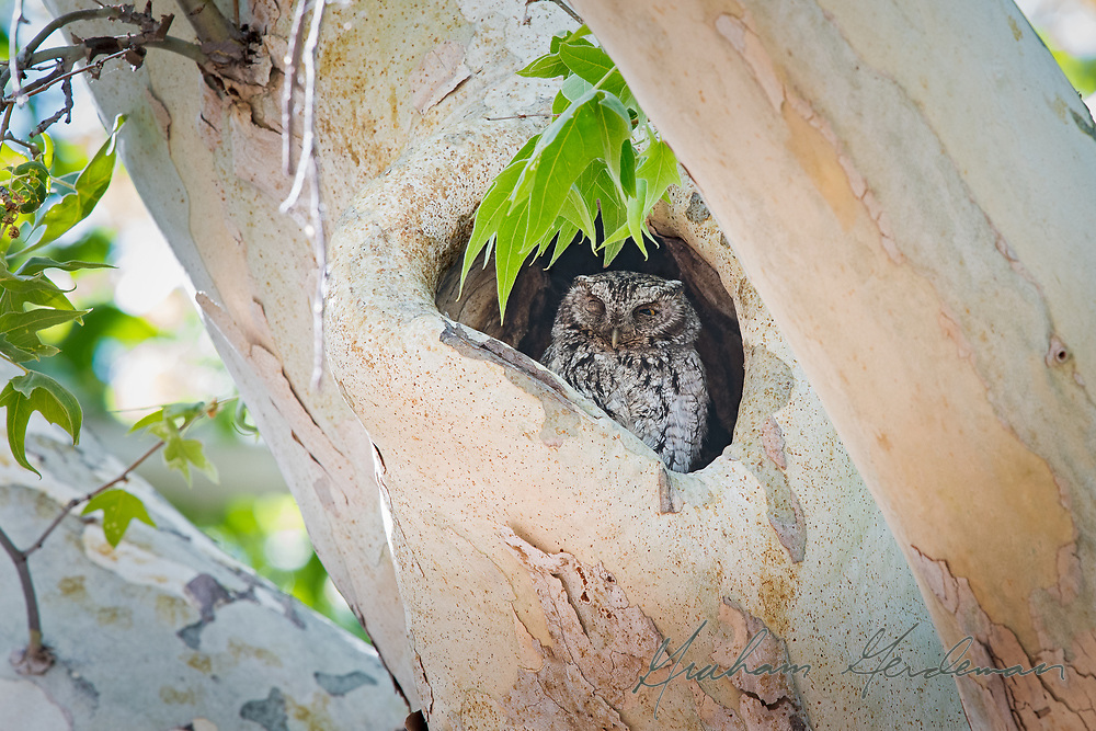 A Whiskered Screech Owl opens an eye from a day roost in Southeast Arizona. <br /> <br /> Whiskered Screech Owls have a very limited range in southern Arizona and New Mexico, usually a higher elevations than Western Screech Owl. Most of the Whiskered Screech Owls live year round in Mexico.
