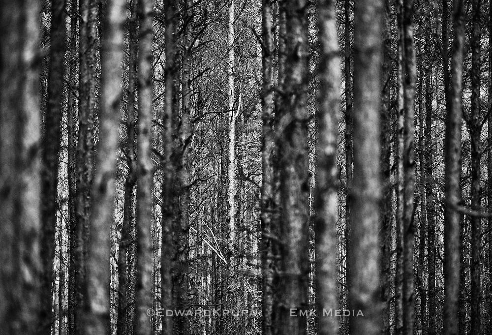 Zagan Pines 1