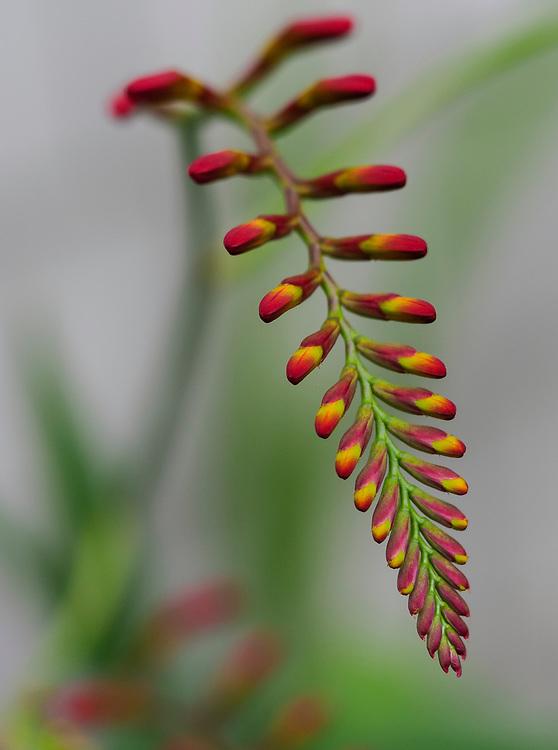 United States, Washington, Bellevue, Crocosmia Lucifer flower (buds)