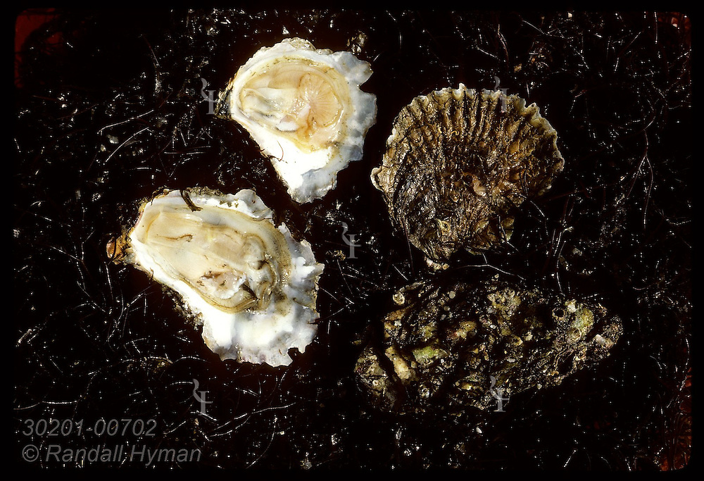 Comparison of opened and unopened European flat oyster (top) & Japanese oyster (bottom). France