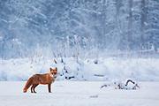 Red fox (Vulpes vulpes) standing on frozen river ice in snowy winter morning, Vidzeme, Gauja National Park (Gaujas Nacionālais parks), Latvia Ⓒ Davis Ulands | davisulands.com