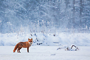 Red fox (Vulpes vulpes) standing on frozen river ice in snowy winter morning, Vidzeme, Gauja National Park (Gaujas Nacionālais parks), Latvia Ⓒ Davis Ulands | davisulands.com