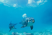 bottlenose dolphins, Tursiops truncatus (c), releasing bubble blast, Discovery Cove, Florida, not to be used in anti-captivity campaigns