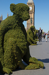 "Westminster Bridge, May 24th 2016. Body Shop personnel place five six-foot moss covered monkeys on Westminster Bridge in London to raise awareness of ""Bio-Bridges"", a new initiative to help restore and protect endangered habitats around the world."