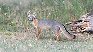 wild Male Gray Fox in a field