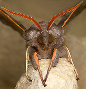 An extreme close-up front view of a Poplar hawk-moth (Laothoe populi) resting showing detail of its head and eyes and large antennae in a Norfolk garden in summer
