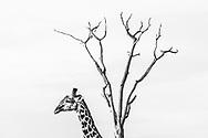 Impressionen aus dem South Luangwa Nationalpark in Sambia. Die Giraffe (Giraffa camelopardalis) ist ein Säugetier aus der Ordnung der Paarhufer. Sie ist das höchste landlebende Tier der Welt.
