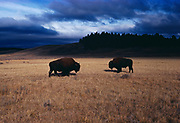 Two Bison bulls in Hayden Valley following a fall storm, Yellowstone National Park, Wyoming.