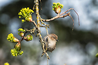 A bushtit pauses for a second on a bigleaf maple tree in Western Washington in the late afternoon as it hunts for spiders, aphids and other small insects.