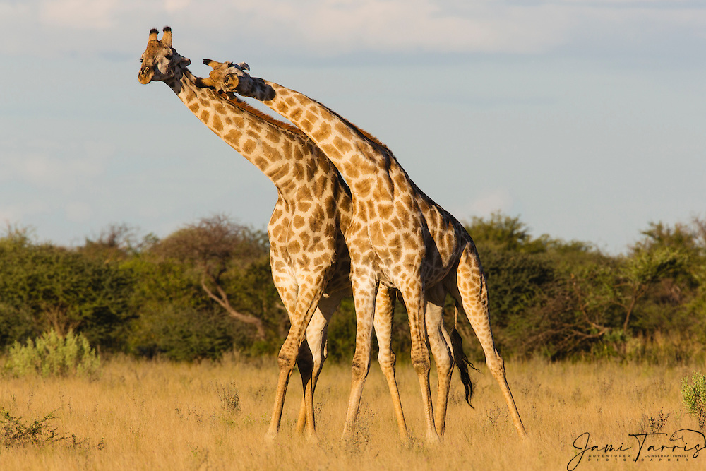A pair of southern giraffe (giraffa camelopardalis) looking and leaning together in the same direction, Kalahari, Botswana, Africa