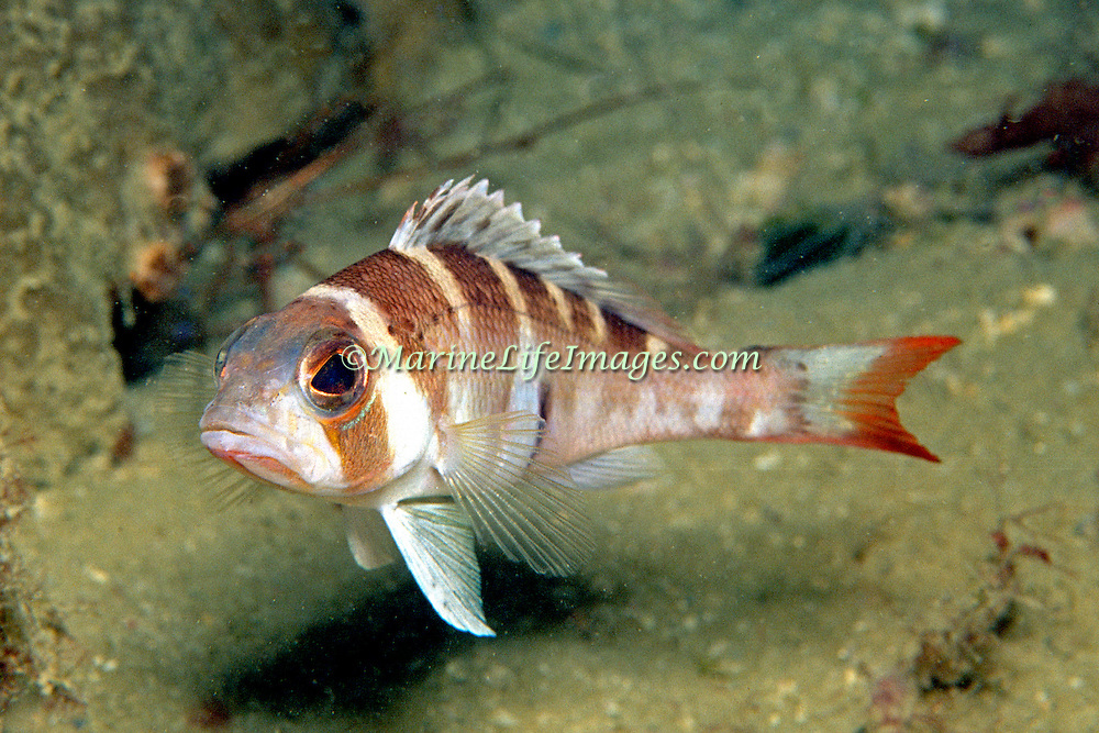Saddle Bass inhabit reefs and areas of sand and rubble Florida, Gulf of Mexico and Caribbean (shallow in southern Caribbean and very deep in Florida); picture taken Isla Cubagua, Veneuela.