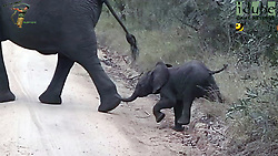 Elephant Face Plant.An elephant calf tries to run across the road following mum but trips and face-plants into the dirt. The cute clumsy baby elephant is unhurt by this funny incident and mum comes to make sure all is ok!.Filmed at Idube Game Reserve in South Africa.©Rob The Ranger/Whitehotpix (Credit Image: © Whitehotpix/ZUMA Wire)