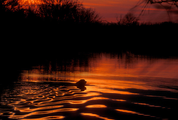 Stock photo of a dog swimming in a pond at sunset