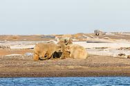 Sow polar bear (Ursus maritimus) and cubs nursing on spit along Beaufort Sea on Barter Island in Kaktovik, Alaska. Autumn. Afternoon.