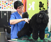 Dog Parlour - A female hairdresser grooming and trimming a black miniature poodle Model and Property releases available