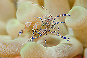 A Cleaner Shrimp rests on a Giant Anemone, Condylactis gigantea, on a Palm Beach County coral reef, Florida.