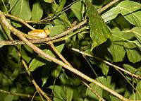 Common Mexican Treefrog, Smilisca baudinii, near Arenal Volcano National Park, La Fortuna, Costa Rica