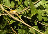 Common Mexican Treefrog, Smilisca baudinii