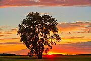 Plains cottonwood at sunset<br />