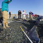 Researchers measuring and photographing fluke of humpback whale calf (Megaptera novaeangliae) that washed ashore on 3 January 2012 in Odawara, Japan. Measured 6.87 meters long and was male. Cause of death unknown. This humpback whale calf is the third smallest one recorded to date that has stranded or washed ashore in Japan. It is the third deceased calf to have been found in the 2011-2012 breeding and calving season. Members of the science community recording measurements for Japan's cetacean stranding database.