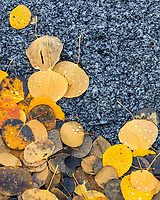 Fallen golden aspen leaves dotted with fresh raindrops mingle with the cool granite rock textures found in Little Cottonwood Canyon near Salt Lake City Utah.