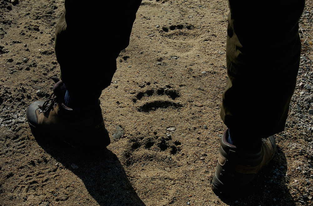 Brown bear tracks in mud, on the road, Lapland, Finland