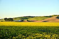 Green winter wheat next to canola.