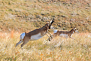 A Buck Pronghorn (antelope) chases a doe in prairie habitat.