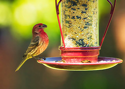 Red Male House Finch rocking on a red bird-feeder filled with fresh seed