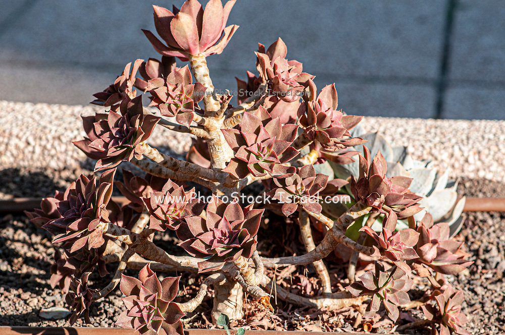 Sempervivum Houseleek plant in a  Cactus and succulent garden Photographed in Tel Aviv, Israel in May